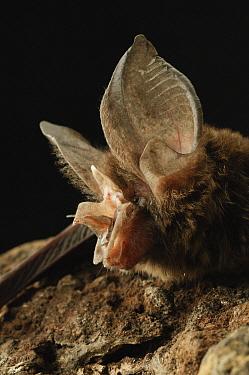 Large-eared Horseshoe Bat (Rhinolophus philippinensis), Bintulu, Bukit Sarang Conservation Area, Sarawak, Borneo, Malaysia  -  Ch'ien Lee