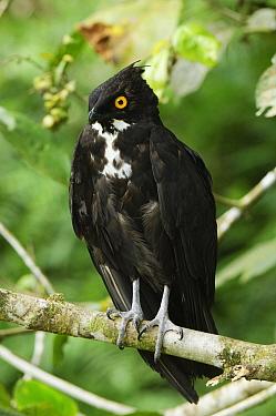 Bat Hawk (Macheiramphus alcinus), Bintulu, Bukit Sarang Conservation Area, Sarawak, Borneo, Malaysia  -  Ch'ien Lee