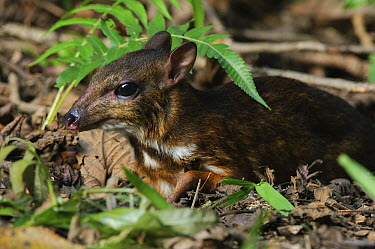 Kanchil (Tragulus kanchil), one of the world's smallest ungulates, Bintulu, Bukit Sarang Conservation Area, Sarawak, Borneo, Malaysia  -  Ch'ien Lee