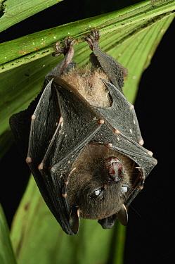 Spotted-winged Fruit Bat (Balionycteris maculata), Bintulu, Bukit Sarang Conservation Area, Sarawak, Borneo, Malaysia  -  Ch'ien Lee