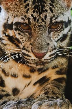 Sunda Clouded Leopard (Neofelis diardi) female, Sarawak, Borneo, Malaysia  -  Ch'ien Lee