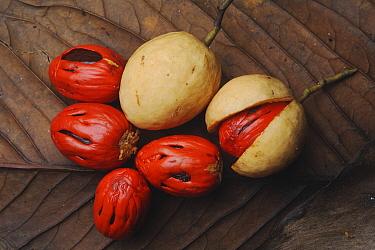 Nutmeg (Myristica sp) fruit, Gunung Mulu National Park, Sarawak, Borneo, Malaysia  -  Ch'ien Lee