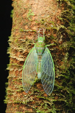 Cicada (Cicadidae) newly emerged adult with exuvium, Gunung Penrissen, Sarawak, Borneo, Malaysia  -  Ch'ien Lee