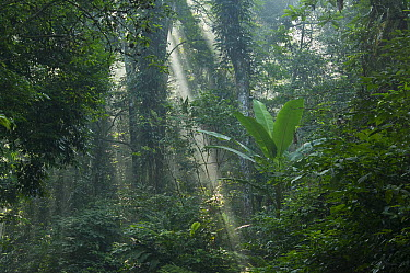 Lowland rainforest with sunrays cutting through mist, Cuc Phuong National Park, Ninh Binh, Vietnam  -  Ch'ien Lee