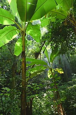 Banana (Musa sp) growing in a rainforest clearing, Cuc Phuong National Park, Ninh Binh, Vietnam  -  Ch'ien Lee