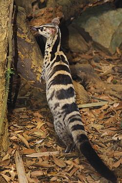 Owston's Palm Civet (Chrotogale owstoni), Cuc Phuong National Park, Ninh Binh, Vietnam  -  Ch'ien Lee