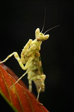 Flower Mantis (Creobroter sp), Mount Victoria, Palawan, Philippines  -  Ch'ien Lee