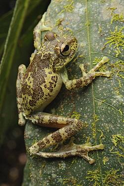 Mossy Tree Frog (Rhacophorus everetti), Mount Victoria, Palawan, Philippines  -  Ch'ien Lee