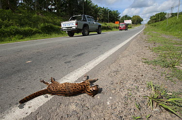 Leopard Cat (Prionailurus bengalensis) roadkill beside a highway, Telupid, Sabah, Borneo, Malaysia  -  Ch'ien Lee