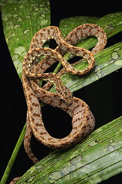 Jasper Cat Snake (Boiga jaspidea) showing outline of recently-consumed a bird egg, Gunung Mulu National Park, Sarawak, Borneo, Malaysia  -  Ch'ien Lee