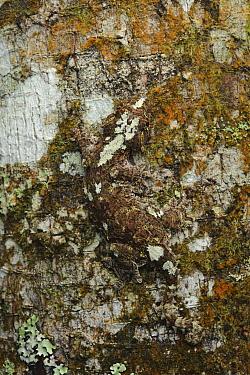 Sabah Flying Gecko (Ptychozoon rhacophorus) camouflaged on bark, Kinabalu National Park, Sabah, Borneo, Malaysia  -  Ch'ien Lee