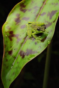 Mindanao Splash Frog (Staurois natator), Danum Valley Conservation Area, Sabah, Borneo, Malaysia  -  Ch'ien Lee