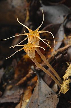 Fairy Lantern (Thismia ornata), tiny myceheterotrophic plant was described as a new distinct species in March of 2020, Gunung Penrissen, Sarawak, Borneo, Malaysia  -  Ch'ien Lee