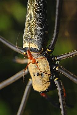Giant Wood Spider (Nephila maculata) male is dwarfed by a gigantic female, Gunung Penrissen, Sarawak, Borneo, Malaysia  -  Ch'ien Lee