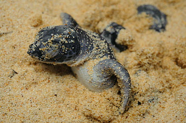 Green Sea Turtle (Chelonia mydas) hatchling emerging from sand after struggling from their nest several feet below, Talang-Satang National Park, Sarawak, Borneo, Malaysia  -  Ch'ien Lee