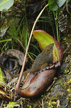 Mountain Tree Shrew (Tupaia montana) feeding on Pitcher Plant (Nepenthes rajah) nectar, inevitably leaving its scat in the pitcher which is a valuable nitrogen source in their impoverished mountain ha...  -  Ch'ien Lee