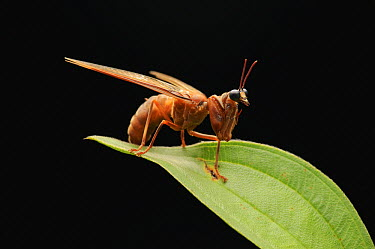 Mantis Fly (Mantispidae) mimicking a wasp to deter predators, Danum Valley Conservation Area, Sabah, Borneo, Malaysia  -  Ch'ien Lee