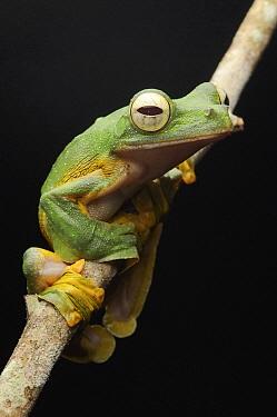 Wallace's Flying Frog (Rhacophorus nigropalmatus), Gunung Penrissen, Sarawak, Borneo, Malaysia  -  Ch'ien Lee