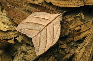 Tent Caterpillar Moth (Arguda insulindiana) camouflaged in leaf litter, Lawas, Sarawak, Borneo, Malaysia  -  Ch'ien Lee