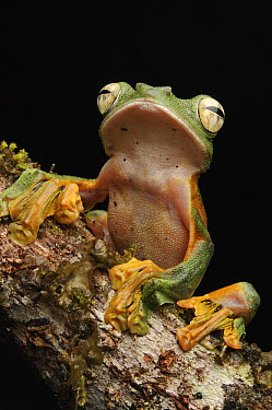 Wallace's Flying Frog (Rhacophorus nigropalmatus), Lawas, Sarawak, Borneo, Malaysia  -  Ch'ien Lee