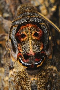 Death's Head Hawk Moth (Acherontia lachesis), Kinabalu National Park, Sabah, Borneo, Malaysia  -  Ch'ien Lee