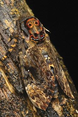 Death's Head Hawk Moth (Acherontia lachesis) camouflaged on branch, Kinabalu National Park, Sabah, Borneo, Malaysia  -  Ch'ien Lee
