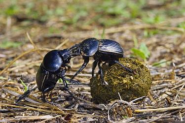 Dung Beetle (Scarabaeus laticollis) pair fighting over dung ball, Sardinia, Italy  -  Konrad Wothe