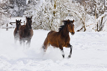 Domestic Horse (Equus caballus) trio running in snow, Germany  -  Konrad Wothe