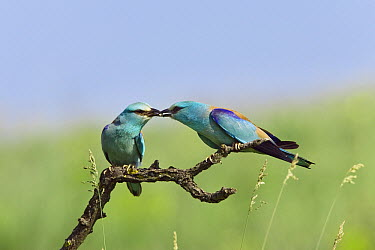 European Roller (Coracias garrulus) presents prey item to potential mate, Bulgaria  -  Konrad Wothe