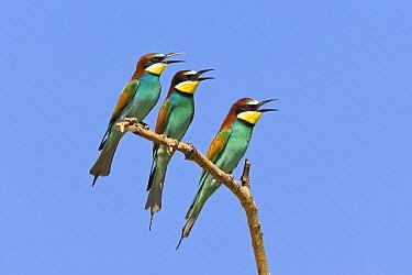 European Bee-eater (Merops apiaster) trio calling, Bulgaria  -  Konrad Wothe