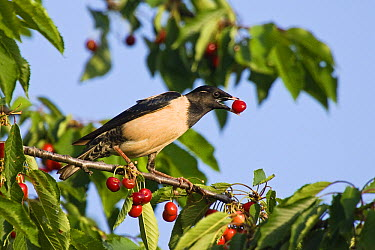 Rosy Starling (Pastor roseus) feeding on cherries, Bulgaria  -  Konrad Wothe