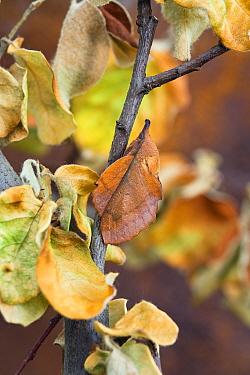 Moth (Gastropacha quercifolia) mimicking leaf, Bulgaria  -  Konrad Wothe