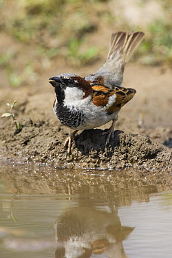House Sparrow (Passer domesticus) drinking, Europe  -  Konrad Wothe