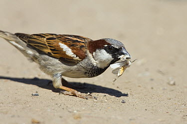 House Sparrow (Passer domesticus) with moth prey, Europe  -  Konrad Wothe