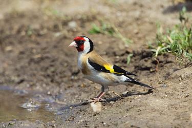 European Goldfinch (Carduelis carduelis) at water's edge, Europe  -  Konrad Wothe