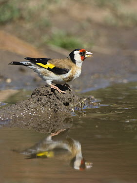 European Goldfinch (Carduelis carduelis) drinking, Europe  -  Konrad Wothe