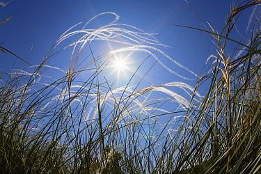 Feather Grass (Stipa pennata) field, Bulgaria  -  Konrad Wothe