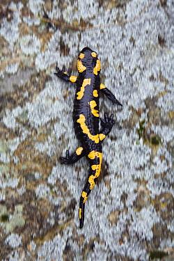 Fire Salamander (Salamandra salamandra) walking, Bulgaria  -  Konrad Wothe