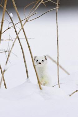 Short-tailed Weasel (Mustela erminea) in winter coat, Germany  -  Konrad Wothe