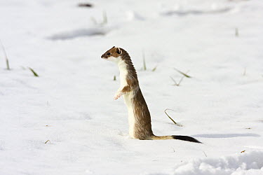 Short-tailed Weasel (Mustela erminea) standing upright, Germany  -  Konrad Wothe