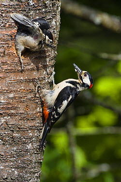 Great Spotted Woodpecker (Dendrocopos major) chick leaving nest with male outside, Germany  -  Konrad Wothe