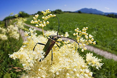 Musk Beetle (Aromia moschata) on Meadowsweet (Filipendula ulmaria) flower, Bavaria, Germany  -  Konrad Wothe