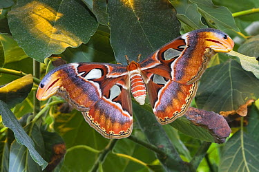 Atlas Moth (Attacus atlas), native to southeast Asia  -  Konrad Wothe