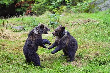 Brown Bear (Ursus arctos) cubs play-fighting, Bayrischer Wald National Park, Bavaria, Germany  -  Konrad Wothe