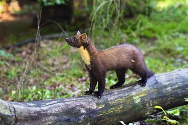 Pine Marten (Martes martes), Bayrischer Wald National Park, Bavaria, Germany  -  Konrad Wothe