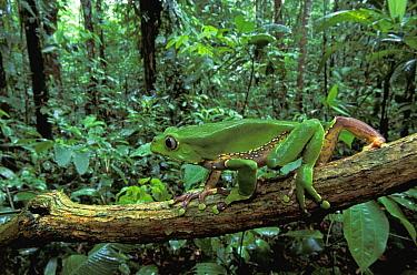 Giant Monkey Frog (Phyllomedusa bicolor) walking along branch, Tambopata Candamo Reserve, Peru  -  Thomas Marent