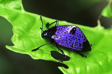 Fungus Beetle (Erotylidae), Tambopata Candamo Reserve, Peru  -  Thomas Marent