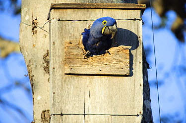 Hyacinth Macaw (Anodorhynchus hyacinthinus) emerging from nest box installed by researcher Neiva Guedes, Pantanal, Brazil  -  Luciano Candisani