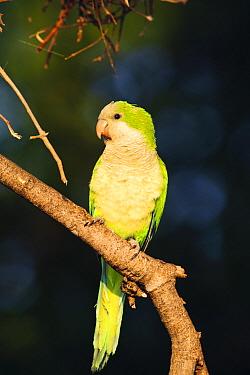 Monk Parakeet (Myiopsitta monachus), Pantanal, Brazil  -  Luciano Candisani