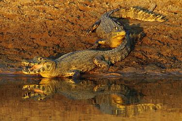 Jacare Caiman (Caiman yacare) pair sunning on sandbar, Pantanal, Brazil  -  Luciano Candisani
